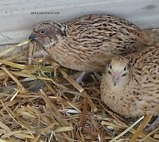 12 Mixed Variety Coturnix Quail Hatching Eggs - Free Shipping
