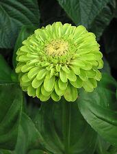 ZINNIA flor VERDE green  flower  preciosidad 100 semillas seeds