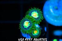 USA REEF AQUATICS -  WYSIWYG STARGAZER STAR GAZER ZOANTHIDS LIVE CORAL FRAG ZOA