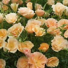 Kings Seeds-Eschscholtzia Melocotón Sorbete (californiana) - 150 semillas de adormidera