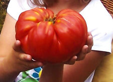 Bulgarische Tomaten, Riesenfleischtomaten Saatgut 10+ Stück Samen n.1