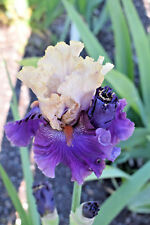 Tall Bearded Iris PUFF THE MAGIC DRAGON (bare rooted rhizome)