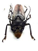 Beetle, 011030, Cerambycidae, Prioniinae, Callipogon sp from Mexico, 47mm