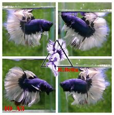 [40_A3]Live Betta Fish High Quality Male Fancy Over Halfmoon 📸Video Included📸