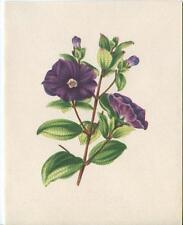 VINTAGE SOLANUM RANTONNETII BLUE POTATO BUSH NIGHT SHADE FLOWER CARD PRINT