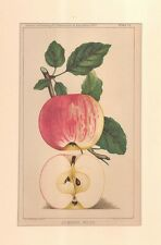 LATE 1800'S LITHOGRAPH, APPLE 'SUMMER ROSE', 1887 AGRICULTURE BOOK
