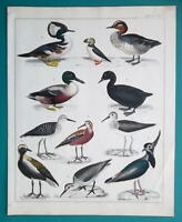 BIRDS Puffin Smew Duck Plover Tringa Teal etc - 1843 HC Color Print by Oken