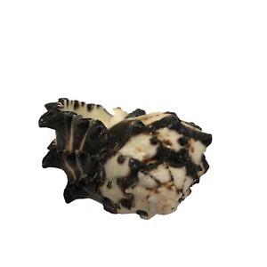 "Conch Shell  Horn Sea Shell Ocean Decor.   7"" X 5""   003"