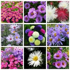 100Pcs Aster Flower Seeds Asteraceae 10 Kinds Garden Magically Beautiful Plants