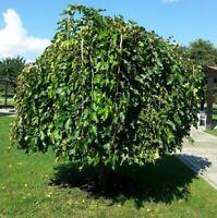 Kugeliger Maulbeerbaum Morus alba Kleine Ungarin