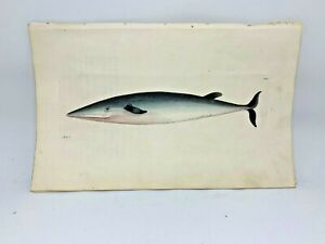 Rostrated Whale - 1783 RARE SHAW & NODDER Hand Colored Copper Engraving