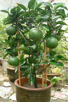 Green Lemon Tree Seeds Organic Fruit Seeds Bonsai Lime Seeds Green Lemon Tree