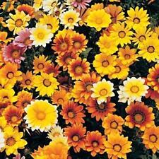 Gazania Dynastar Series Mix Annual Seeds