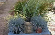 ca. 100+ Samen Festuca glauca - Ziergras blau, Blau-Schwingel