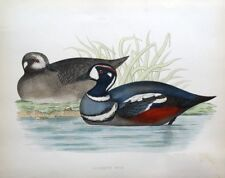 HARLEQUIN DUCK, Beverley Morris original antique hand coloured bird print 1855