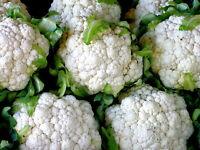 500 Cauliflower Snowball y Improved Seeds - Heirloom Non-GMO Cauliflower Seeds
