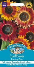 Mr Fothergills - Pictorial Packet - Flower - Sunflower Evening Sun - 50 Seeds