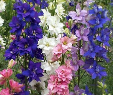 ROCKET LARKSPUR MIXED COLORS Delphinium Consolida Ajacis - 3,300 Bulk Seeds