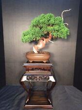 Specimen Shohin Twisted Trunk Kishu Shimpaku Bonsai