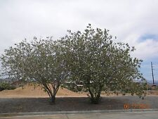 Desert Willow TREE seeds (Chilopsis linearis) drought tolerant PURPLE flowers