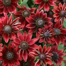 20+ RUDBECKIA CHERRY BRANDY  / GLORIOSA DAISY / DEER RESISTANT FLOWER SEEDS