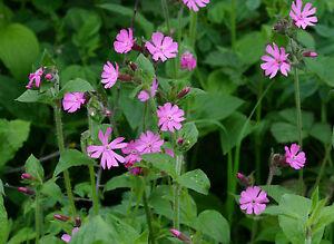 Red Campion - Silene dioica - 1000 Seeds - British Wild Flower