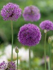 More details for 10 x giant allium purple sensation perennial garden plant bulbs