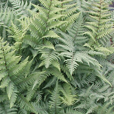 Japanese Painted Fern Hardy Perennial Plant Athyrium 'Ghost' 1 x 9cm Potted T&M