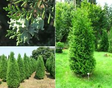 50+ THUJA TREE Cedar Thuja Occidentalis Seeds (50+ Fresh seeds)
