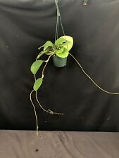 Hoya latifolia (loyceandrewsiana) large dinner plate leaves tropical plant