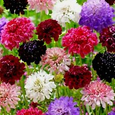Escabiosa Alta Surtido - 50 Semillas - Leucospermum Flor