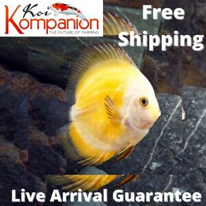 1/2/3X Yellow Marlboro Discus Fish Aquarium Koi Kompanion Free 1 Day Shipping