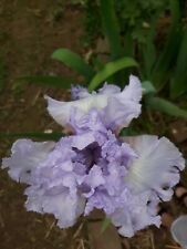 2 Tall Bearded Iris blue perrywinkle Rhizome amazing dug upon order