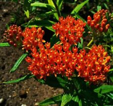 Butterfly Weed (Asclepias Tuberosa) 30 graines (#1855)