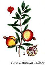 Botanical Illustration of the Pomegranate