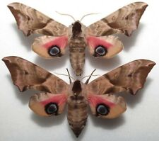 Smerinthus ocellatus pair from PL (mounted)