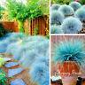 BLUE FESCUE - Festuca Glauca - 600 seeds  -  ORNAMENTAL GRASS
