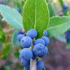 1 PLANT MYRTUS COMMUNIS v. TARENTINA mirto a foglie piccole MYRTLE