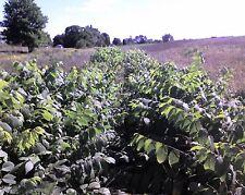 """BLACK WALNUT TREE Juglans nigra 6-12"""" LOT OF 4"""