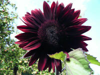 Sonnenblume Moulin Rouge - Sunflower 10+ Samen - TIEFROTE SCHÖNHEIT!