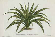 1883 YUCCA GLORIOSA Genuine Antique Botanical Print LINDEN