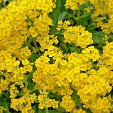 Flower - Alyssum Montanum Golden Yellow - Appx 700 seeds - Rockery / Border