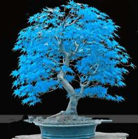 Rare American Blue Maple Bonsai Tree Seeds 20 Seeds/Pack Japanese Seed