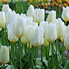 25 Tulip 'Purissima' White TULIPS Spring Flowering Bulbs Size 9/10