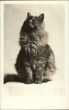 Long Hair Gray Fluffy Kitty Cat c1920s Real Photo Postcard - Amateur