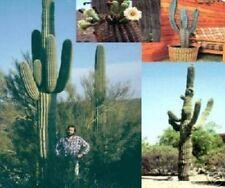 Riesenkaktus Büropflanze Zimmerpflanze exotisch blühend Geschenk für zu Valentin