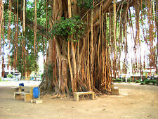 Higuera Sagrada - FICUS RELIGIOSA - 25 Semillas -- Tree - Samen - Semi