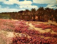VINTAGE Postcard INDIO CA COACHELLA Valley Date Palms Joseph Muench LARGE