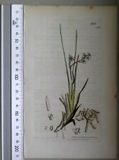 English Botany, Smith, Sowerby, handcoloured copperplate, 531, 3.Edition,1850.
