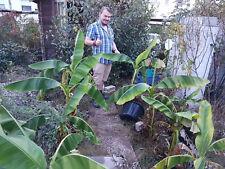 winterharte Bananen-Palme schnellwüchsige exotische Pflanzen im für den Garten
